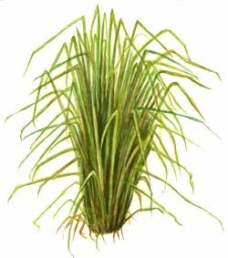 Vetiver Leaves