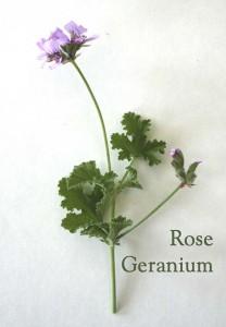 dryland-herbs_rose-geranium-208x300