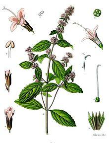 220px-Mentha_×_piperita_-_Köhler–s_Medizinal-Pflanzen-095